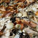Panaeolus agaric mushrooms