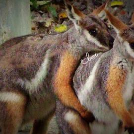 Wallabee Love Hug by Cheryl Beaudoin - Typography Captioned Photos ( love, two, wallabee, hug, mammal, animal,  )