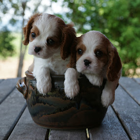 Cavalier Puppies by Tanya Rossi - Animals - Dogs Puppies ( cavalier, puppies, dogs, spaniel, puppy )