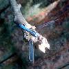 Blue Marsh Hawk dragonfly (male)
