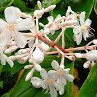 Pear white medinilla