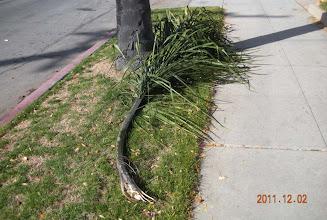 Photo: Downed green Palm frond, Santa Barbara, 2011.