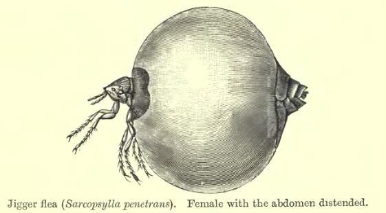 A drawing of a jigger flea.