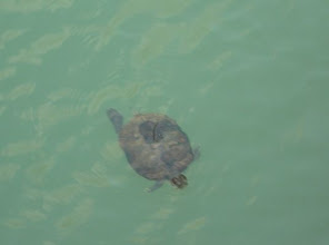 Photo: Yes, a tortoise is here! There are many tortoises in this reservoir.
