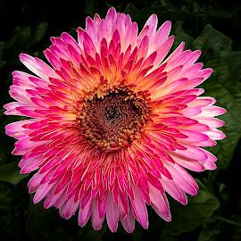 Boom! by Dee Haun - Flowers Single Flower ( flowers, pink, vignette, single flower, orange center, dark background, 180526t2582rce2 )