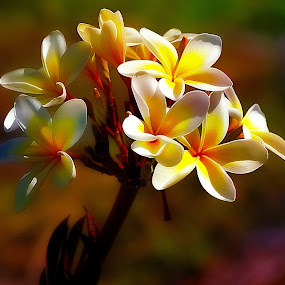 Sunrise on the Frangipani. by Dave  Horne - Flowers Tree Blossoms