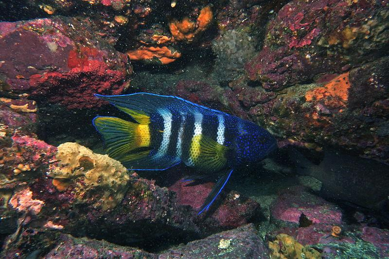 File:Eastern Blue Devil Fish-Paraplesiops bleekeri.jpg