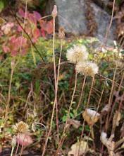 Photo: センボンヤリ。 ムラサキタンポポの秋の姿です。大名行列の毛槍に似ているところからついた名前のようです。