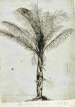 """Photo: Drawing of a sugar palm from Celebes [Sulawesi] by Wallace in 18?? First published: Raby (2001). The illustration """"Sugar palms"""" in Wallace's book The Malay Archipelago includes this image. Scanned with permission from the Wallace family. Copyright of scan: A. R. Wallace Memorial Fund."""