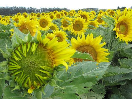 Waarom Zonnebloemen Met De Zon Meedraaien Bionieuws