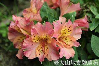 Photo: 拍攝地點: 梅峰-溫帶花卉區 拍攝植物: 百合水仙(盆花型) 拍攝日期:2012_05_26_FY