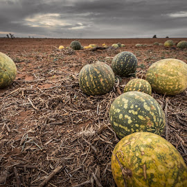 Melons by Barbara Scott - Food & Drink Fruits & Vegetables ( country, melons, drought, farm, melon, farmland )
