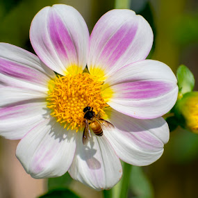 Beautiful winter flowers  by Basant Malviya - Flowers Single Flower