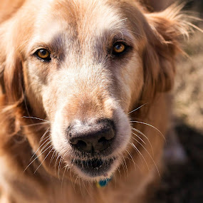 by Brook Kornegay - Animals - Dogs Portraits ( canine, dog, golden retriever )