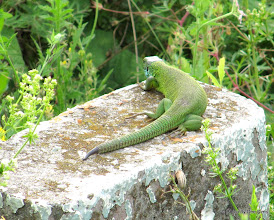 Photo: Day 88 - Big, Fat Lizard