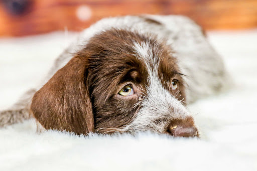 Hunting Dog Profile: The Rugged Wirehaired Pointing Griffon