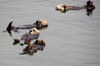 Photo: (Year 3) Day 20 - Otters Floating #6