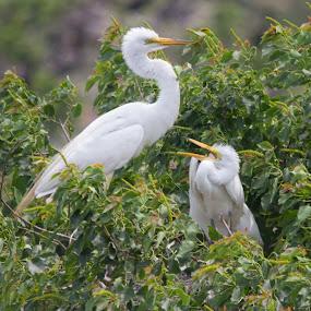 Feeding Time by Jan Davis - Animals Birds ( nature, egrets, birds,  )