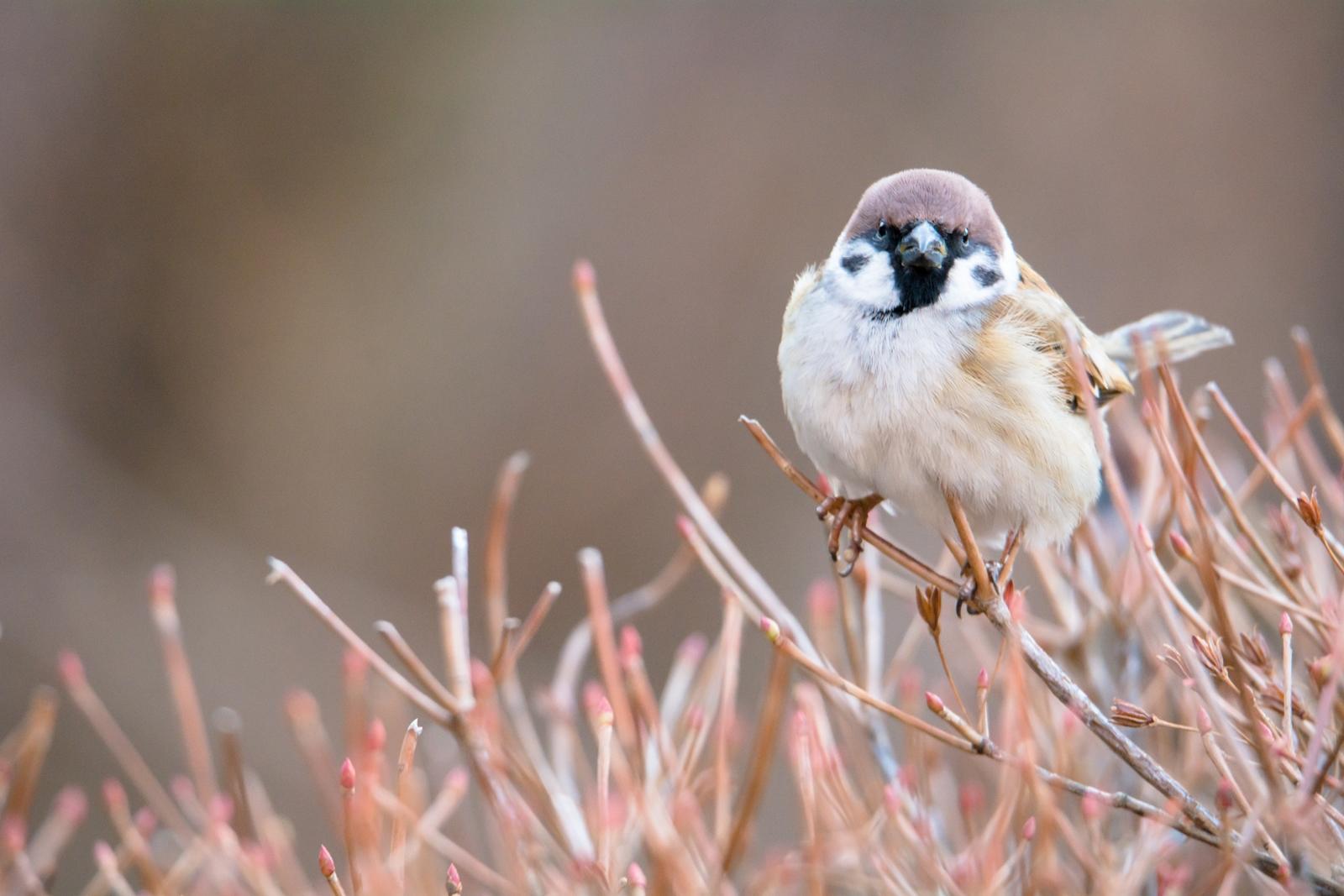 Photo: ぬくもりを待ちわびて Wait for warmth.  じっと待つ その時を待つ 膨らみ寒さに耐えながら 心癒すぬくもりを待つ  Sparrow. (スズメ) #cooljapan #365cooljapanmay  #birdphotography #birds #kawaii  #sigma  Nikon D7100 SIGMA 150-600mm F5-6.3 DG OS HSM Sports [ Day260, January 27th ] (3枚追加:Added 3 photo)  小鳥の詩朗読 http://youtu.be/BwE9LfjbMdc?list=PL2YtHGm0-R3qVsaqvQe9OYdJFCkI98wzF