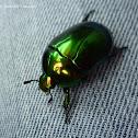 Macraspis Beetle