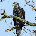 Bald Eagle (juvenile)