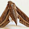 Grape Vine Hawk Moth