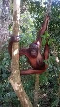 Photo: Sepilok Orangutan Center
