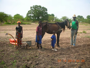 Photo: Seeding rice by horse drawn machine. Soil is mixed into the hopper to increase within-row spacing and then thinned to 1 seedling per hill after emergence in Kaffrine Region, Senegal, West Africa. [Photo by Lorraine Perricone - Dazo, July 2013]
