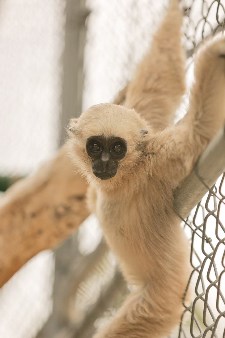 Pileated Gibbon.
