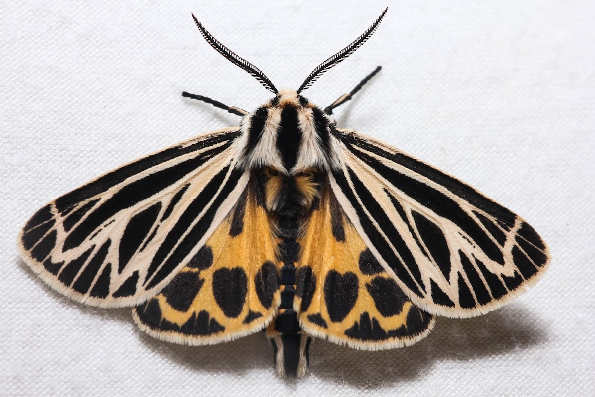 Little Virgin Tiger Moth - Hodges#8175