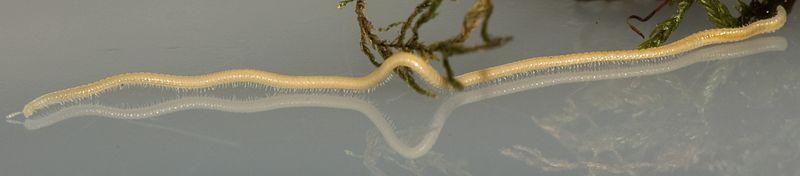 File:Female Illacme plenipes (MIL0020) with 618 legs - ZooKeys-241-077-SP-6-top.jpg