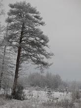 """Photo: """"На севере диком стоит одиноко На голой вершине сосна, И дремлет, качаясь, и снегом сыпучим Одета, как ризой, она.""""  М.Ю. Лермонтов"""