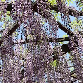 愛知県津島市 天王川公園の藤棚は4月下旬~5月上旬が見ごろ。垂れ下がる薄紫の藤のトンネルを見に行こう!