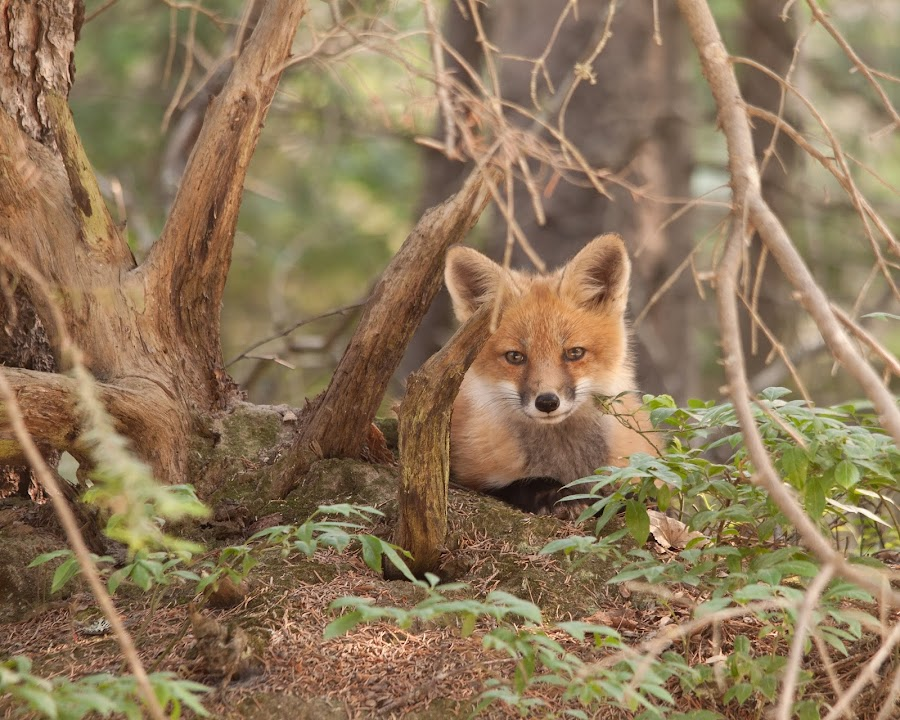 I see you! by Steve Dunsford - Animals Other Mammals ( canon, fox, canada, fox kit, nature, algonquin, outdoor, wildlife, ontario, algonquin park, red fox, animal )