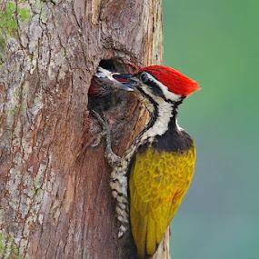 Woodpecker feedng by Ken Goh - Animals Birds