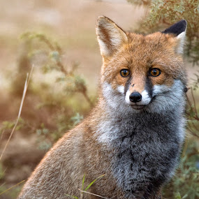 by Mauro Rotisciani - Animals Other Mammals ( tuscany, red, fox, toscana, pelliccia, wildlife, trees, occhi, italy, animal )