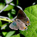 Grey Hairstreak Butterfly