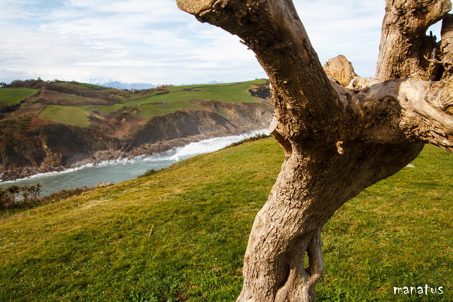 manatus árbol