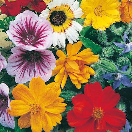 Frö till blomstermix ätbara blommor