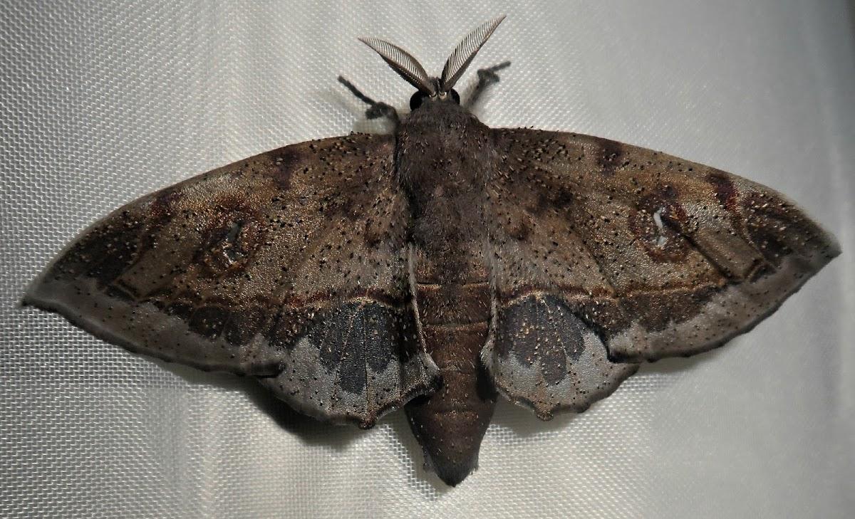 Mimallo moth