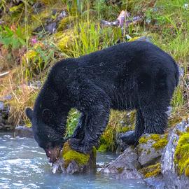 Alaskan Black Bear by Kathy Suttles - Animals Other Mammals ( lunch, salmon run, alaska, black bear, suttleimpressions, valdez, salmon season,  )