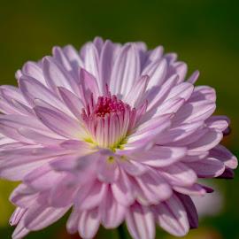 pink Guldaudi flower chrysanthemum by Basant Malviya - Flowers Single Flower ( chrysanthemum flower colors, picture of a chrysanthemum flower )