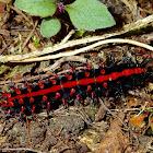 Caterpillar of Indian Fritillary