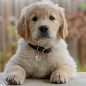 Golden retriever puppies wallpapers icon