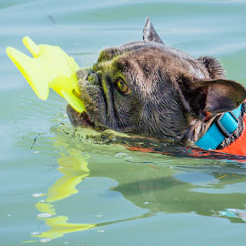 Fishy by Meaghan Browning - Animals - Dogs Playing ( water, frenchie, toy, ocean, swimming )