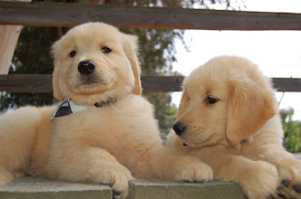Photo: 2 Golden Retriever puppies hanging out.