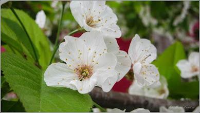 Photo: Vișin (Prunus cerasus) - din Piata 1 Decembrie 1918 - 2018.04.17