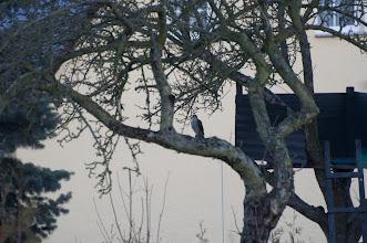 Photo: Falcon (Falke); Reinhardtsdorf, DE