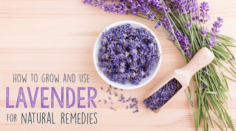 How to Use Lavender, Grow It, Make Natural Remedies & More