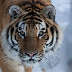 by Francois Larocque - Animals Lions, Tigers & Big Cats ( big cat, face )